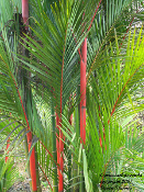 Cyrtostachys renda, sealing wax palm